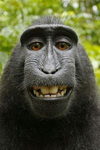 Macaca_nigra_self-portrait_(rotated_and_cropped)